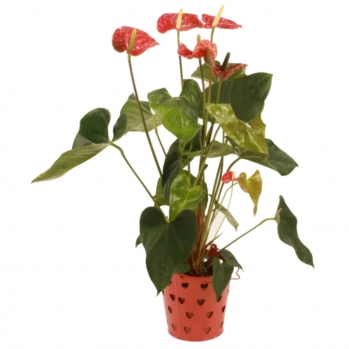 Anthurium2014whitebackground
