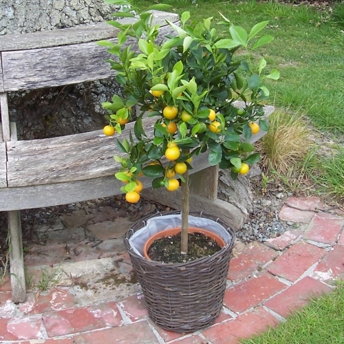 Giant Calamondin with tart fruits that are great in drinks