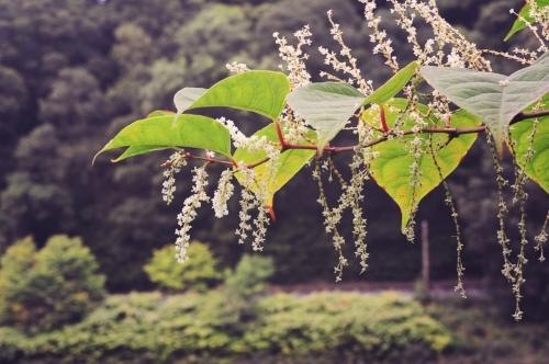 Japanese Knotweed in flower